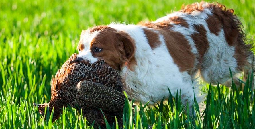 Cacciare La Beccaccia Con I Cani Da Ferma Cosa Bisogna Sapere