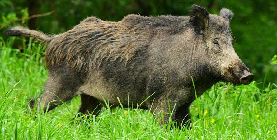 Wild-Boar-Hunting