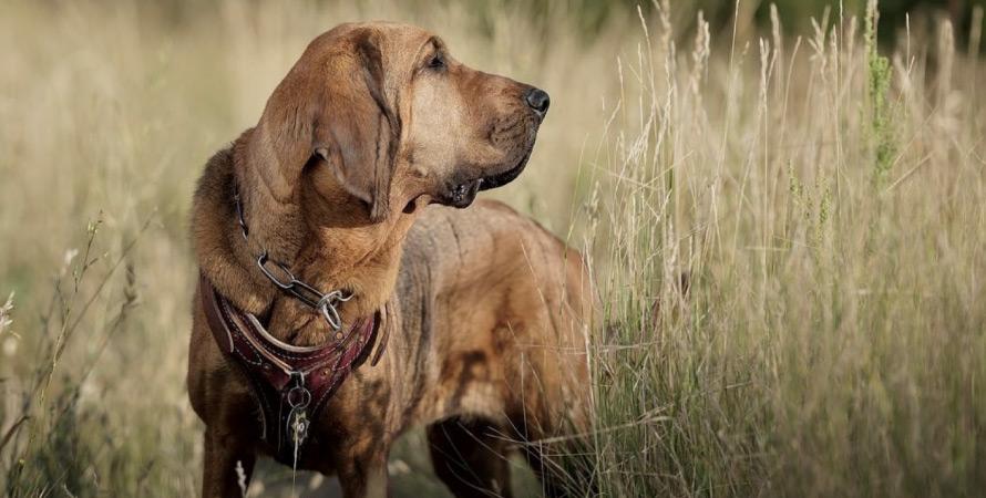 cane-da-caccia-bloodhound