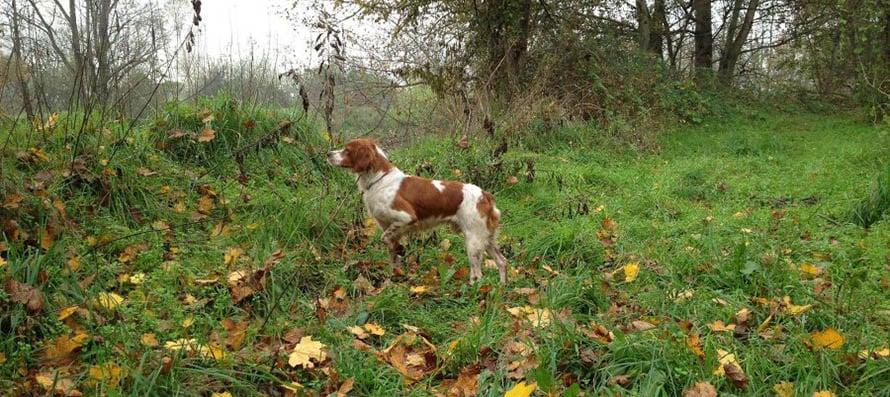 breton-caccia-alla-beccaccia-2