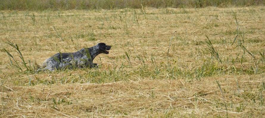 caccia-al-beccaccino-cani-da-ferma
