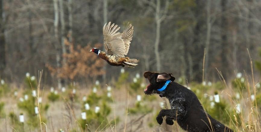 caccia-fagiano-cane-da-ferma.jpg