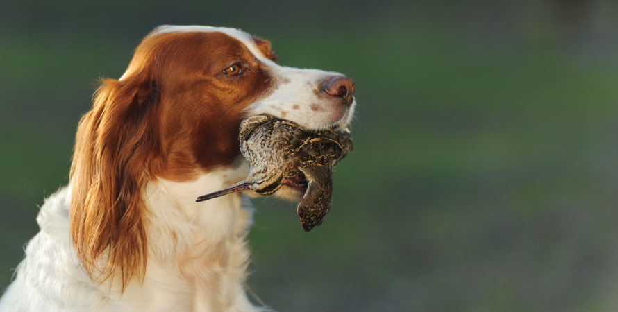 cane-caccia-beccaccia