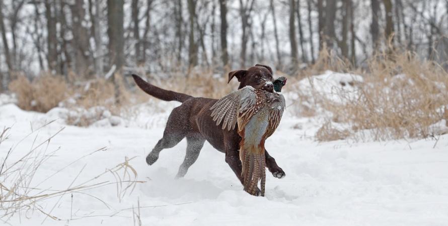 cane-caccia-fagiano
