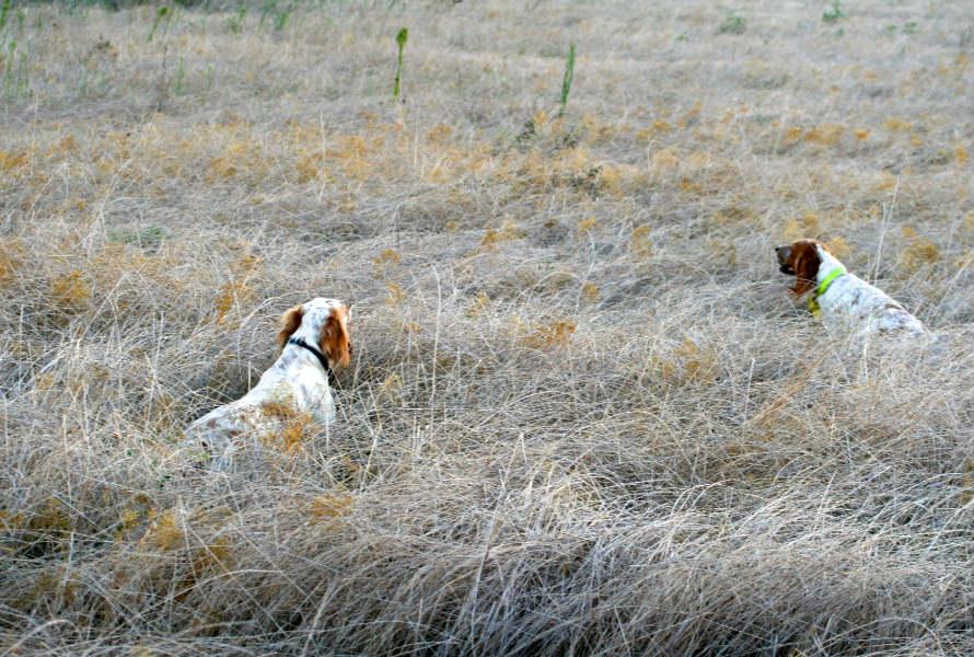 cani-caccia-ferma