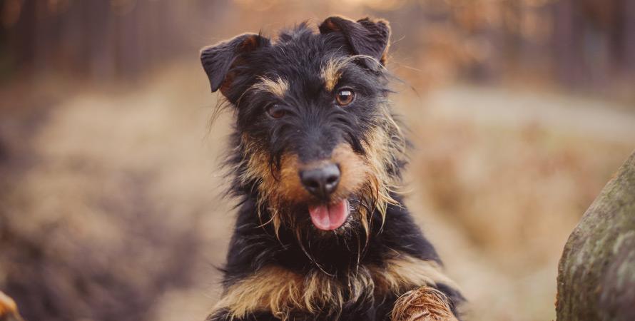 cane-da-tana-deutscher-jagd-terrier