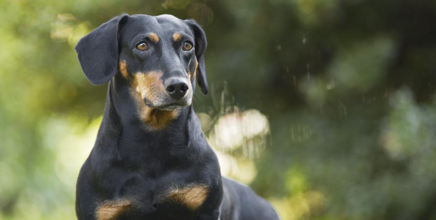cane-da-caccia-dachshund