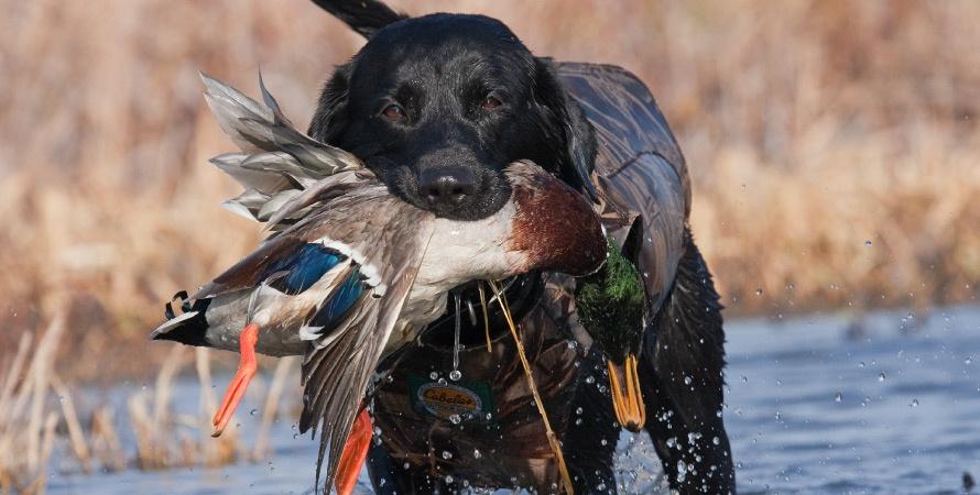 cane-da-caccia-labrador-retriever