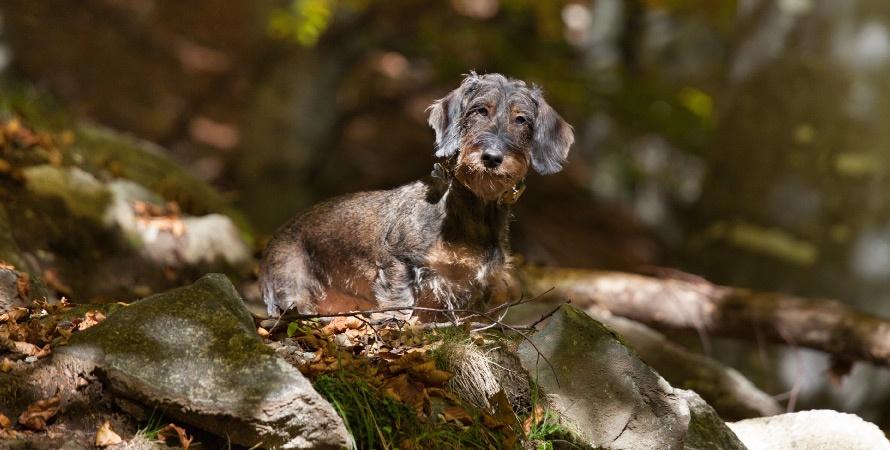 cane-da-caccia-bassotto
