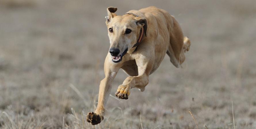 cane-da-caccia-levriero