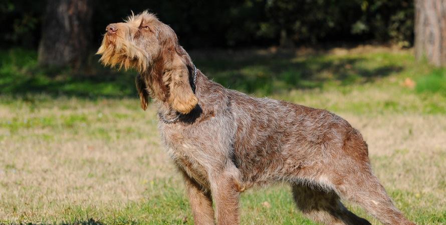 cane-da-caccia-spinone