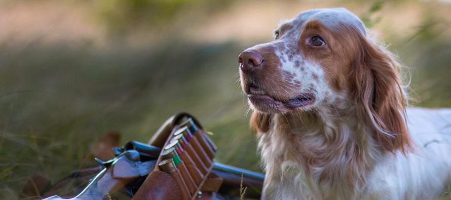 Come addestrare un cane per la caccia alla beccaccia