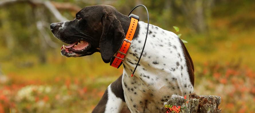 A caccia con il beeper per cani da ferma: ecco cosa c'è da sapere
