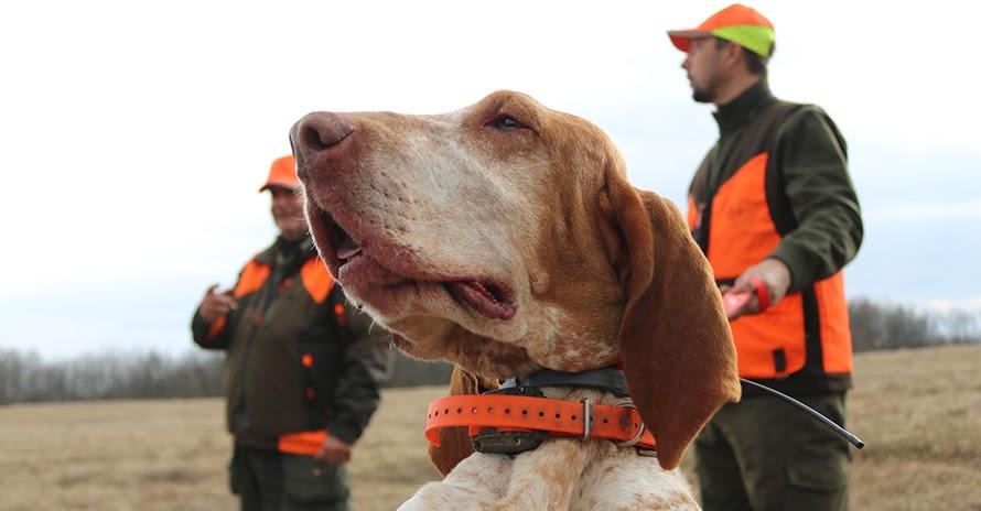 Caccia alle quaglie col bracco italiano: un cane eccezionale